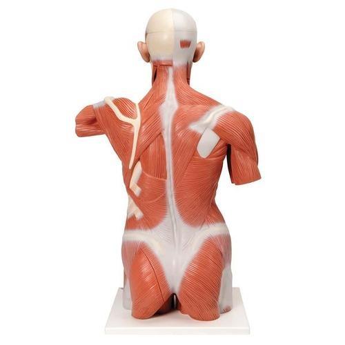 Lebensgroßer Muskel-Torso, 27-teilig