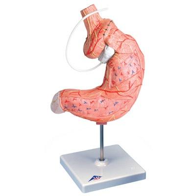 Magenbandmodell