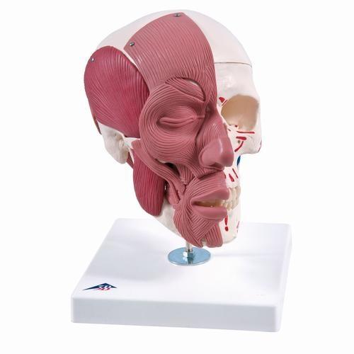 Schädel mit Gesichtsmuskulatur