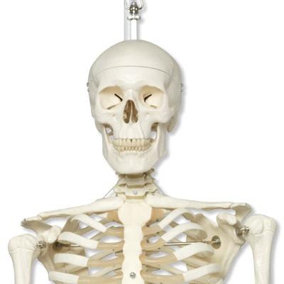 Standard-Skelett Stan auf Metallhängestativ mit Rollen