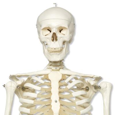 Skelett Stan A10 auf Metallstativ mit 5 Rollen