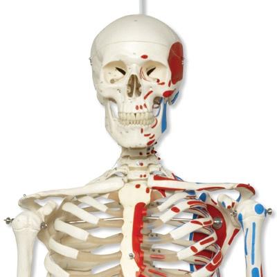 Klassik-Skelett Max mit Muskeldarstellung, auf Hängestativ