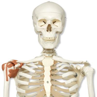 Skelett-Modell Leo mit Gelenkbändern, auf Rollenstativ