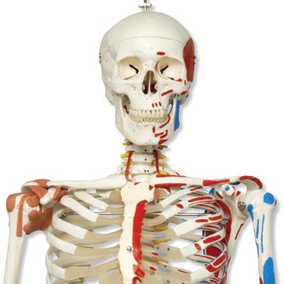 Luxus-Skelett Sam, auf Hängestativ