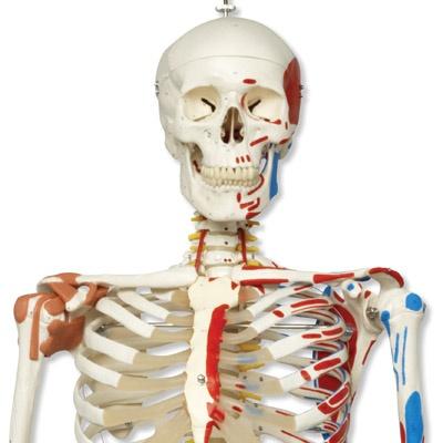 Luxus-Skelett Sam, auf 5-Fuß-Rollenstativ