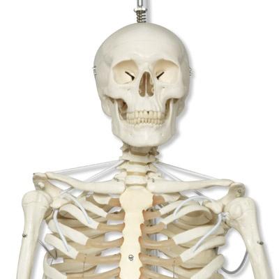 Das Funktionelle Skelett Feldi auf Metallhängestativ