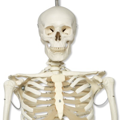 Skelett-Modell Phil, Physiologisches Skelett