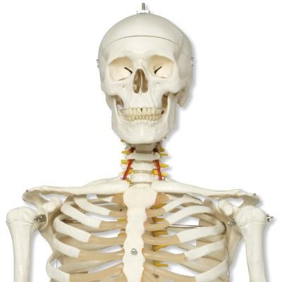 Skelett Fred, auf Metallstativ mit 5-Rollen