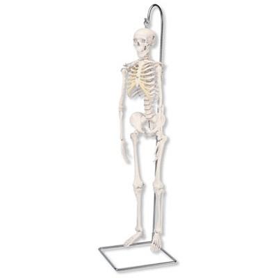 Mini-Skelett Shorty, auf Hängestativ