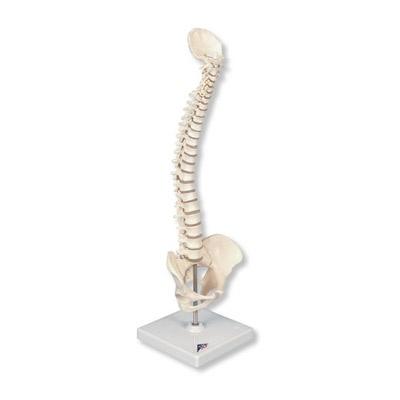 Mini-Wirbelsäule mit Becken, elastisch, auf Stativ