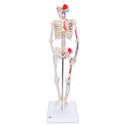 Mini-Skelett Shorty mit Muskelbemalung, auf Sockel