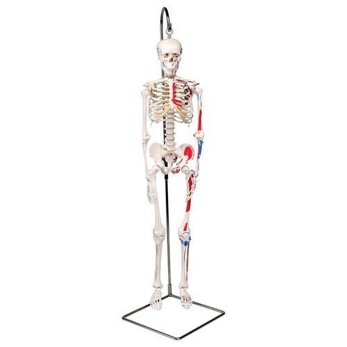 Mini-Skelett Shorty mit Muskelbemalung auf Hängestativ
