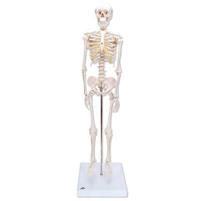 Mini-Skelett Shorty, auf Sockel