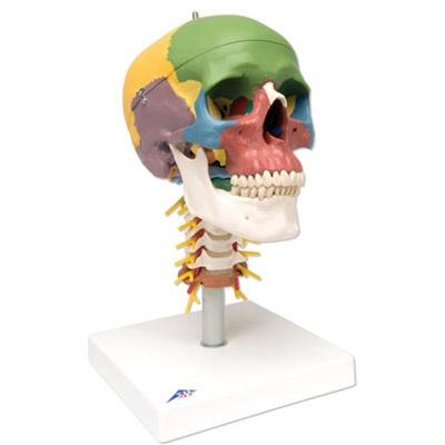 Didaktik-Schädel auf Halswirbelsäule, 4-teilig