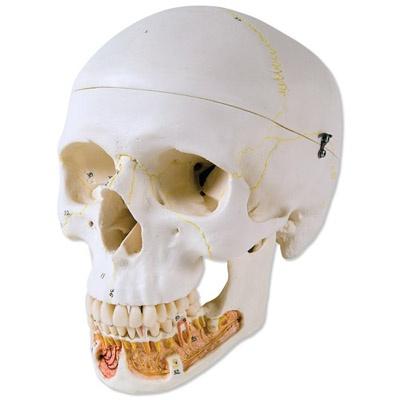 Klassik-Schädel mit geöffnetem Unterkiefer, 3-teilig