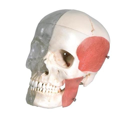 3B BONElike™ Systemschädel, Kombischädel Transparent / Knochen, 8 teilig
