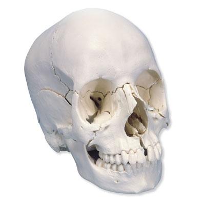 3B Scientific® Steckschädel – Anatomische Version, 22-teilig