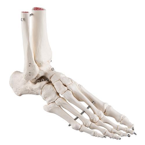 Fußskelett, mit Schienbein- und Wadenbeinstumpf, auf Draht gezogen