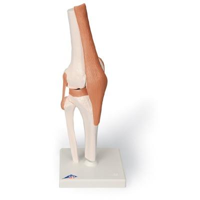 Kniegelenk-Funktionsmodell