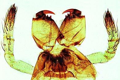 Mikropräparat - Spinne, Mundwerkzeuge des Weibchens, total