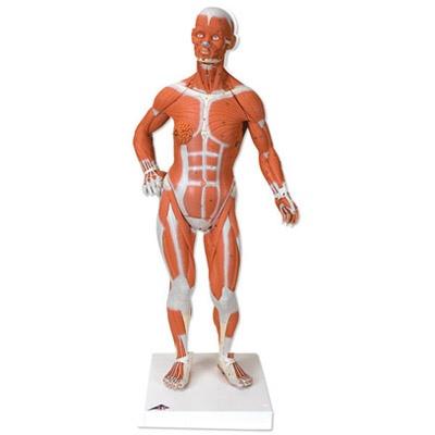 Muskelfigur, 1/3 Größe, 2-teilig