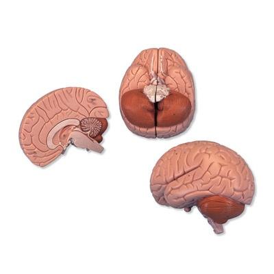 Gehirn, 2-teilig