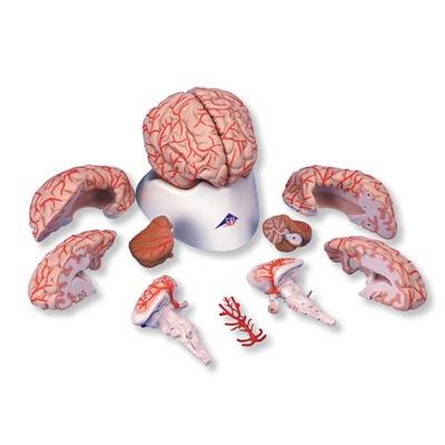 Gehirn mit Arterien, 9-teilig