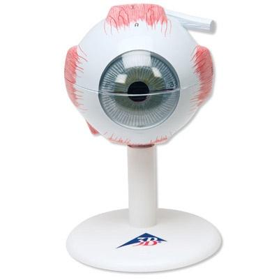 Augenmodell, 3-fache Größe, 6-teilig