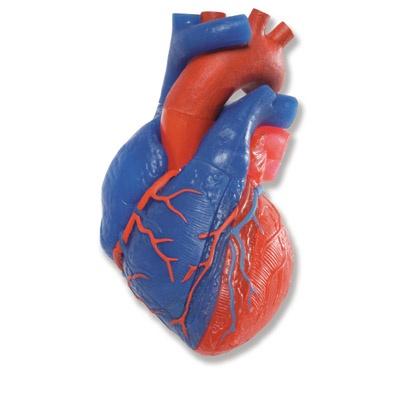 Herzmodell in Lebensgröße, 5-teilig mit Magnetverbindungen