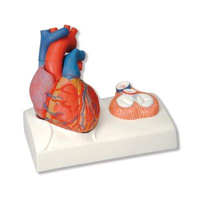 Herzmodell, Lebensgröße, 5-teilig mit magnetischen Verbindungen