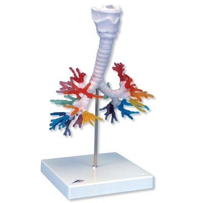 CT-Bronchialbaum mit Kehlkopf