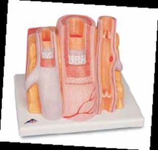 3B MICROanatomy™ Arterie und Vene - 14-fache Vergrößerung