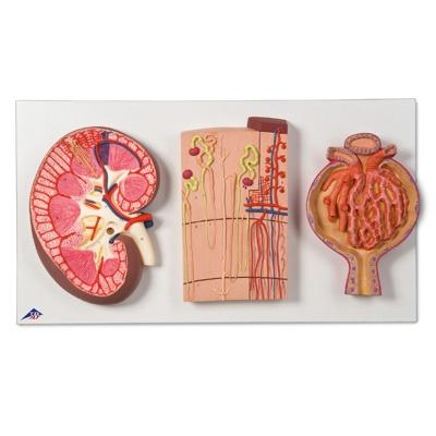 Nierenschnitt, Nephron, Blutgefäße und Nierenkörperchen
