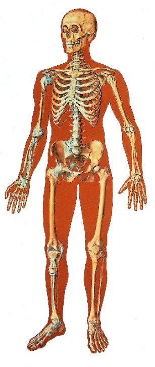 Anatomische Wandkarte Das menschliche Skelett, Vorderserseite