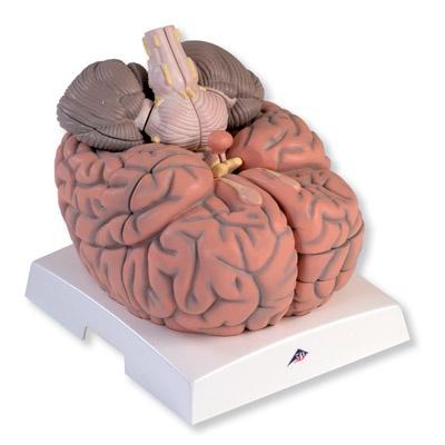 Mega-Gehirn, 2,5-fache Größe, 14-teilig