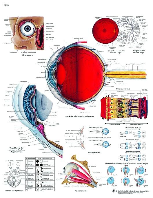 Anatomische Lehrtafel, Das menschliche Auge