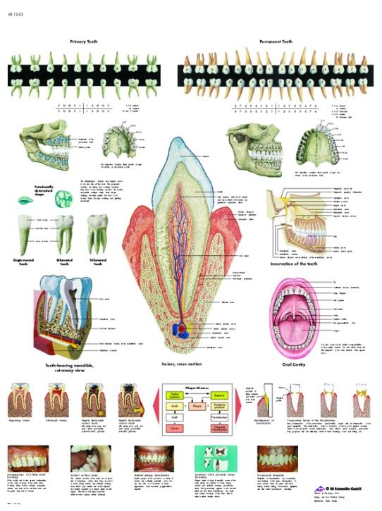 Anatomische Lehrtafel, Das Gebiß