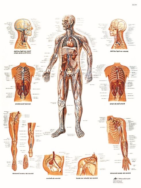 Anatomische Lehrtafel, Das Gefäßsystem