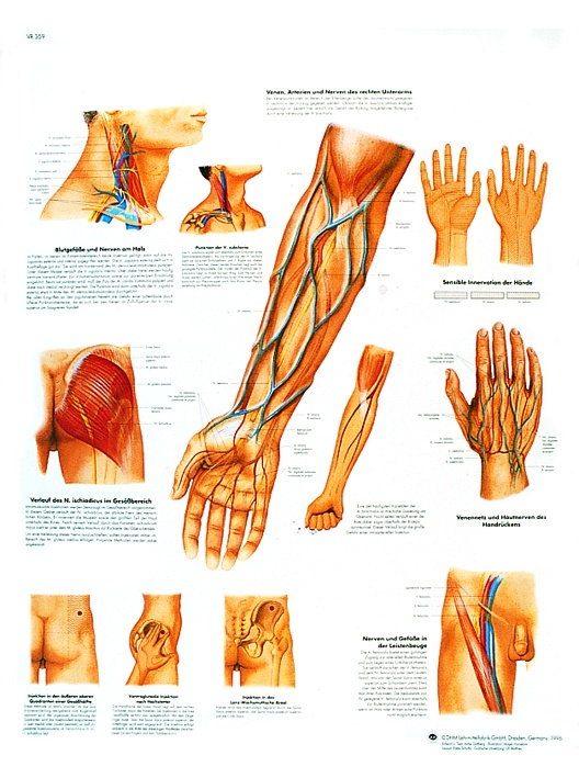 Anatomische Lehrtafel, Klinisch wichtige Gefäß- und Nervenverläufe