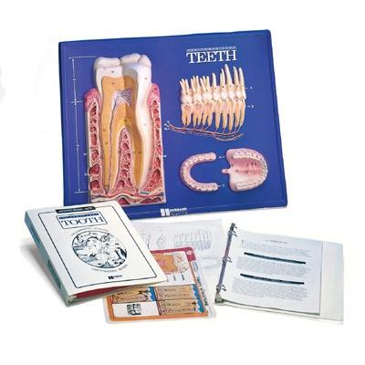Unterrichts-Set Zähne