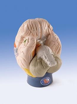 Modell der Gehirnregionen, 4-teilig