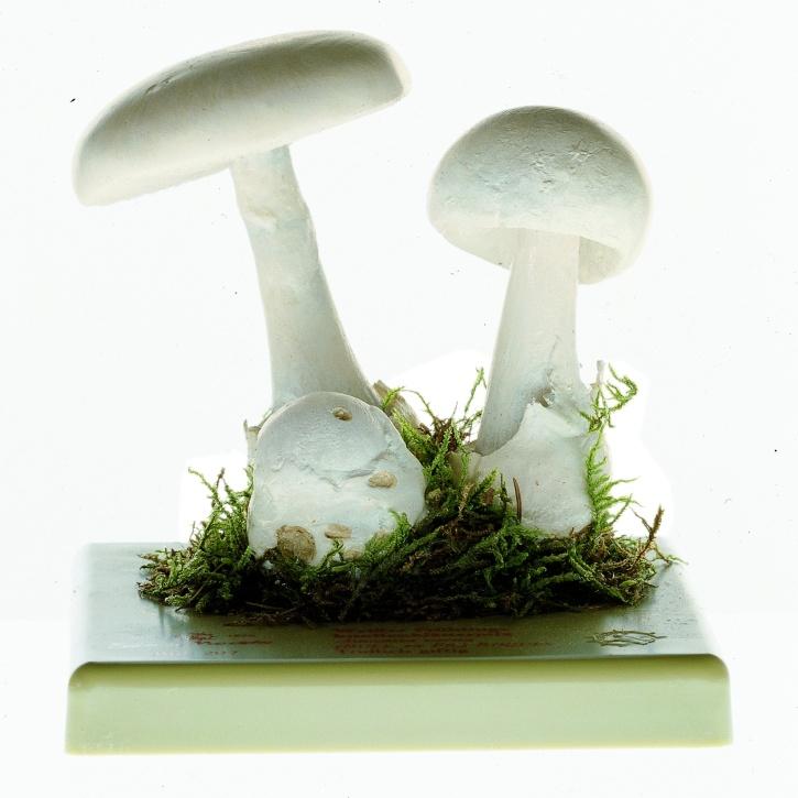 Pilzmodell   -  Weißer Frühlings - Knollenblätterpilz