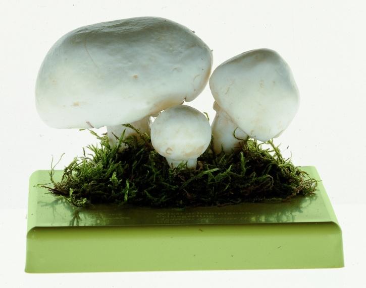 Pilzmodell Wiesenchampignon, Feldegerling