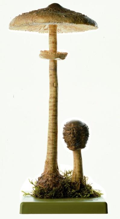 Pilzmodell Riesenschirmling, Parasol
