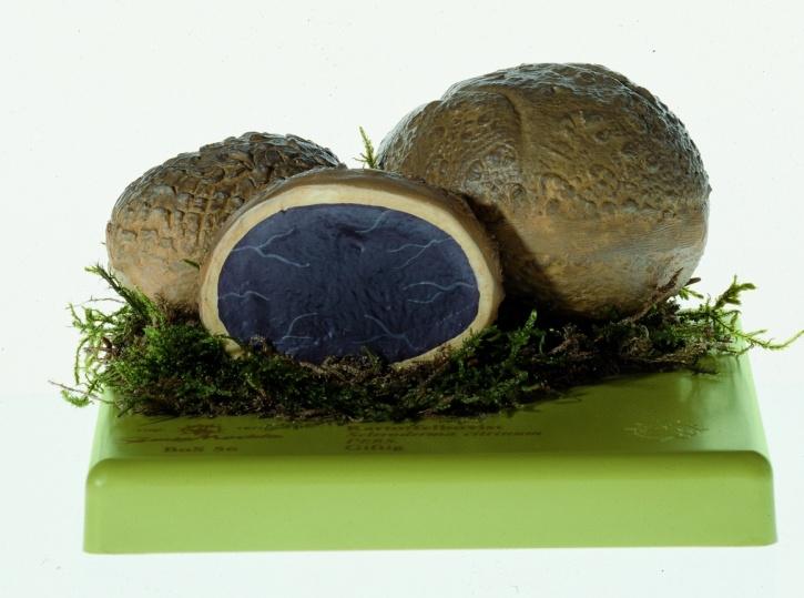 Pilzmodell Kartoffelbovist