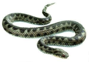 Modell Kreuzotter, adultes (Junges) Männchen