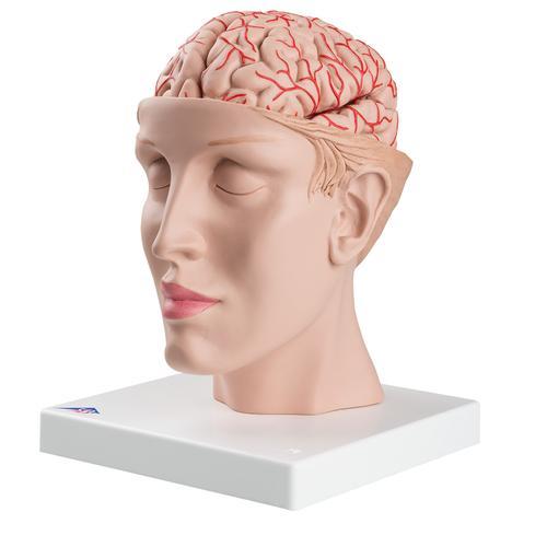 Lehrmittel Gehirn mit Arterien auf Kopfbasis 8-teilig 1017869 C25