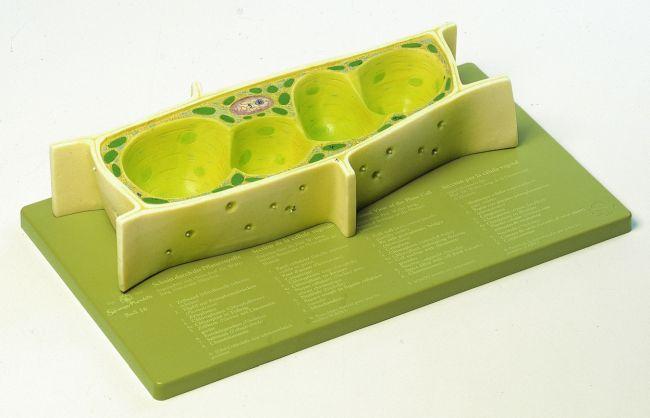 Modell Pflanzenzelle Ca 3000fach Vergrößert Aus Somso Plast