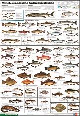 Lehrtafel Mitteleuropäische Süßwasserfische, als Poster