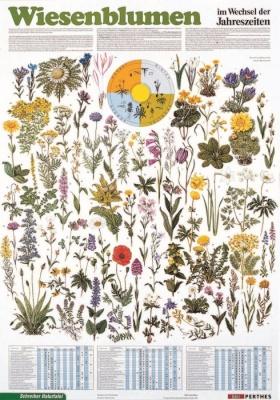 Lehrtafel Wiesenblumen, als Poster